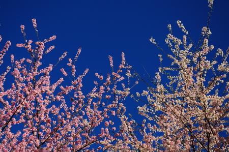 Thai Sakura blooming isolated on the blue sky