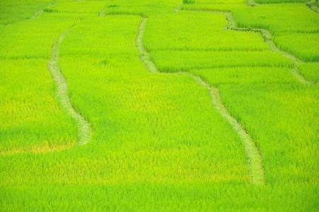 The rice paddyfield, Mae Klang Luang, Thailand.