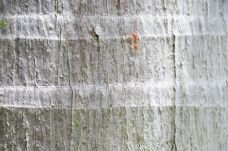 Ant on coconut tree trunk texture background