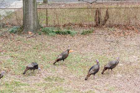 invade: Large Turkey birds invade my property - welcome!