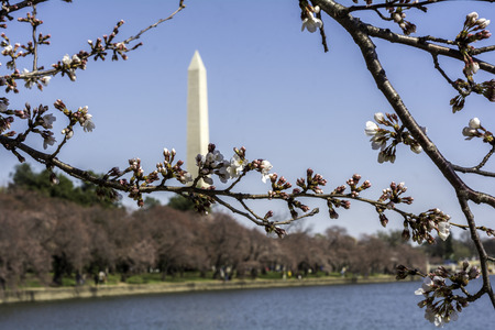 Washington in early march - nice weather, blooming magnolia, city views. Editorial