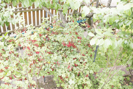 Red currant in Bavaria 写真素材