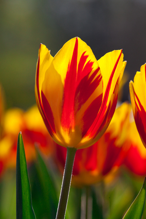 Yellow red tulips 스톡 콘텐츠