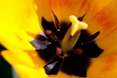 Yellow red tulips 版權商用圖片