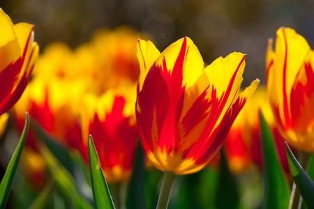 Yellow red tulips Stock Photo