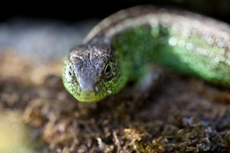 Little sand lizard Stock Photo
