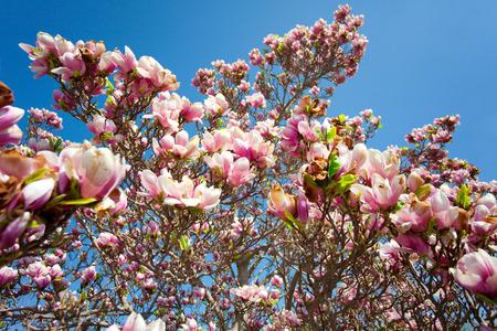 Magnolia blossom 版權商用圖片