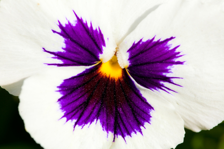 Beautiful White viola