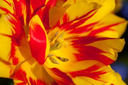 Yellow red tulip Banco de Imagens