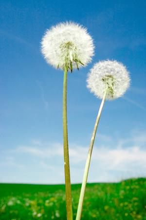 Dandelion in front of blue sky