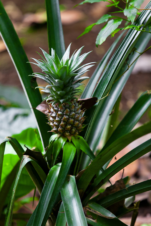 Ananas on the plant