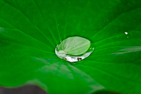 Water in the middle of Lotus Leaves Stock Photo