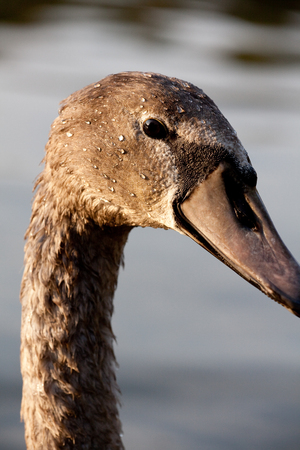The head of a swan