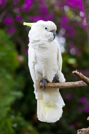 A white cockatoo bird