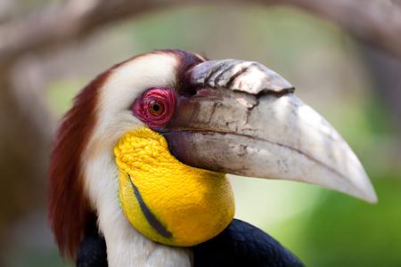 Rhyticeros undulatus - Hornbill