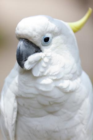 A white cockatoo bird
