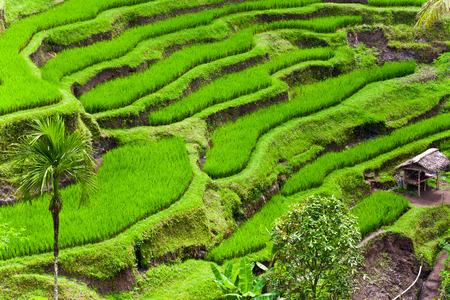 Rice terraces in Bali Stok Fotoğraf - 99170044