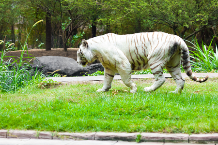 White Royal Bengal Tiger
