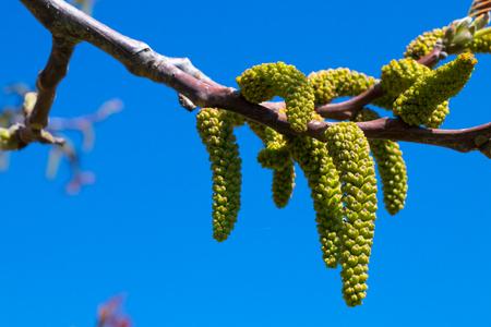 Blossoms of a walnut tree