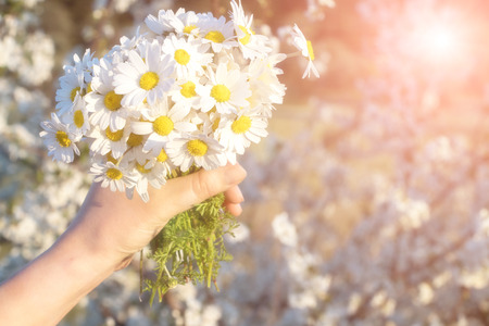 Camomile bouquet in hand Stock Photo