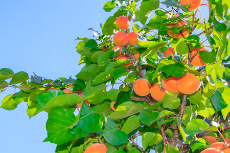 Apricot tree with fruits 스톡 콘텐츠