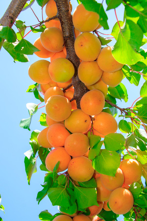 Apricot tree with fruits Stok Fotoğraf