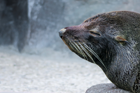 Sea lion in the water Stock Photo