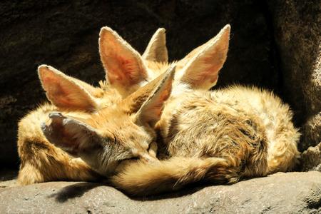 Desert Fox Фото со стока