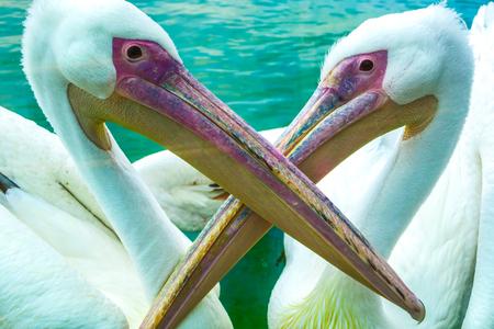 Pelican Bird Stock Photo