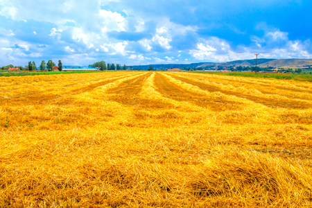 Wheat field and cumulus clouds Фото со стока - 101502758