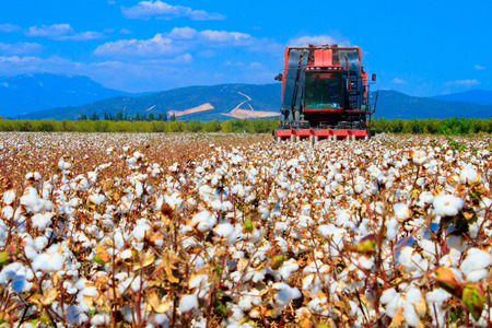 Cotton fields ready for harvesting 版權商用圖片 - 114899731