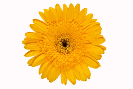 yellow gerbera on the white background photo