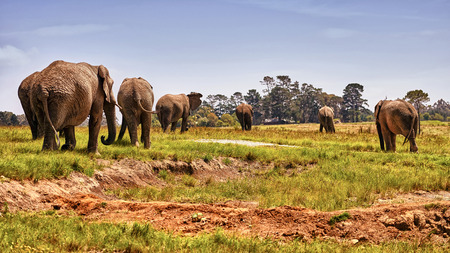 roaming: A majestic herd of Elephants Roaming through Africa