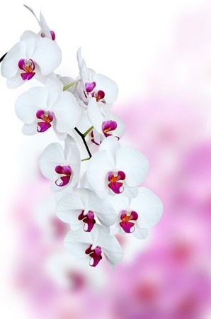 beautiful white orchid flower Stock Photo - 20336879
