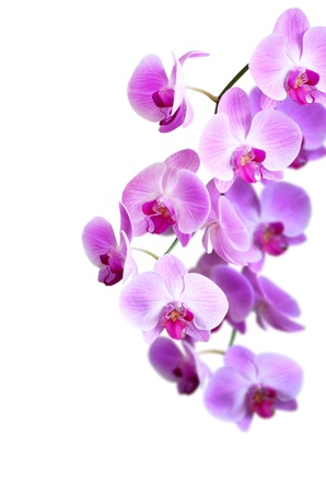 pink orchid flower Stock Photo - 20336878
