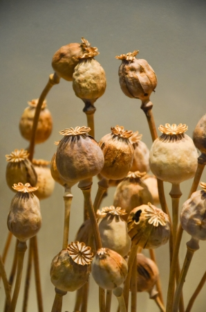 Opium pods Stock Photo