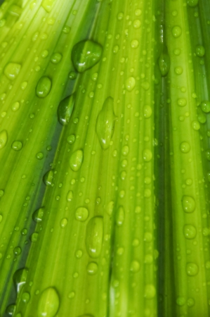 palm leaf and Drop  Stock Photo