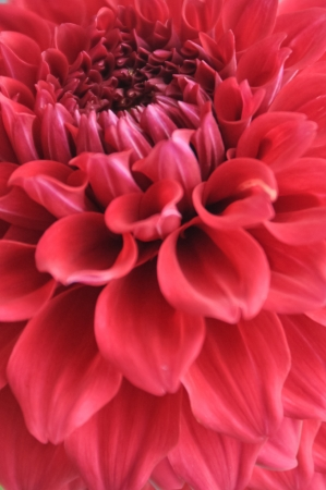 close up pink Dahlia flower