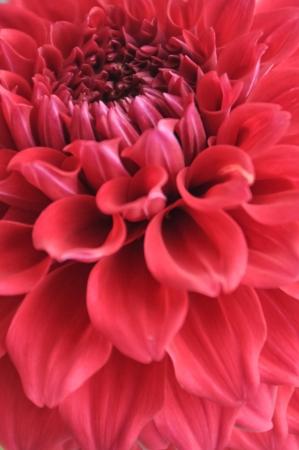 close up pink Dahlia flower