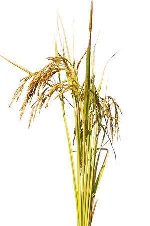 plant seed: rice grow up on white background, rice