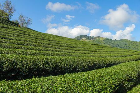 Green tea plantations. green tea garden on the hill. Thailand