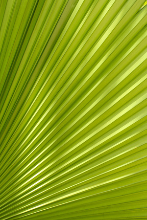 texture of Palm leaves Stock Photo