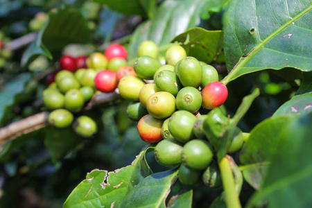 Coffee beans ripening on the branch