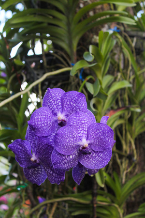 Close up purple orchid, Vanda Sansai purple Stock Photo