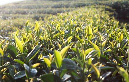 Green tea bud. Fresh tea leaves on morning. Tea plantations. Thailand