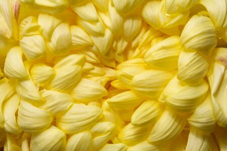 flower abstract background, Yellow dahlia Flower Isolated on White Background