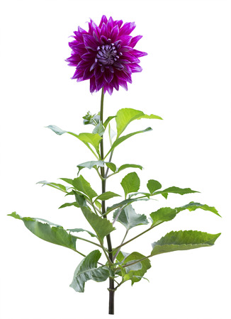 Purple Dahlia flower tree Isolated on White Background. Beautiful purple dahlia Flower