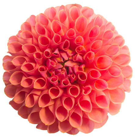 Pink dahlia flower Isolated on White Background. Beautiful pink dahlia Flower