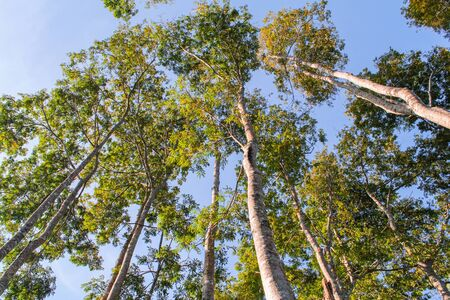 Trees in the forest. Tall trees Stock Photo