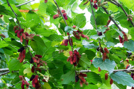 Mulberry fruit. mulberry on branc